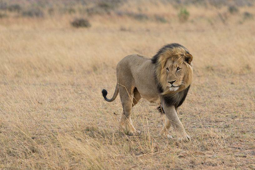 Leeuw in het wild van Capture the Light