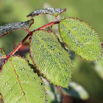 Grüne Blätter mit Tautropfen von Christine aka stine1