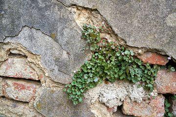Überlebenskampf einer Pflanze an einer Hauswand von Heiko Kueverling