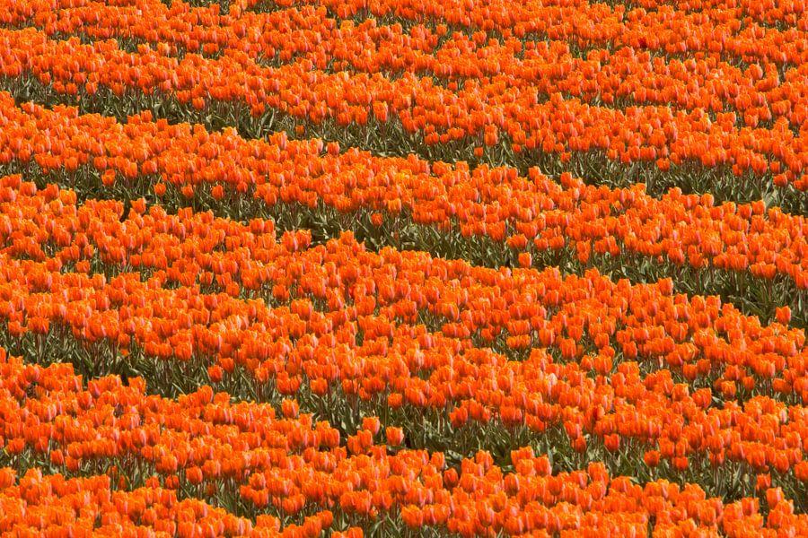 Oranje 1