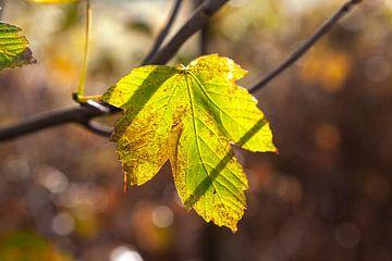Herfstbladeren in het zonlicht van Nel Diepstraten