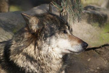 Wolf comes back? von Ronald en Bart van Berkel