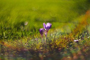 Lente bloem krokus van Marianna Pobedimova