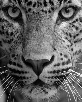 Le léopard en gros plan en noir et blanc sur Patrick van Bakkum