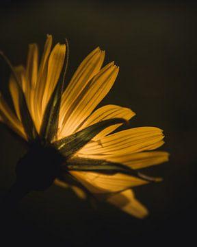 Sunlight petals van Sandra H6 Fotografie