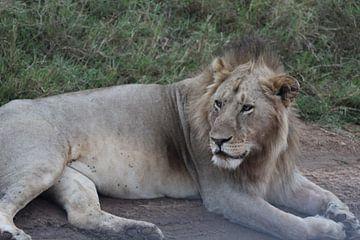 oude leeuw van Laurence Van Hoeck