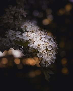 Frühlingsblüte von Sandra Hazes