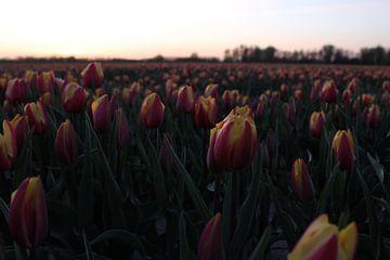 Tulipfields in Südholland von Franklin Verbeek