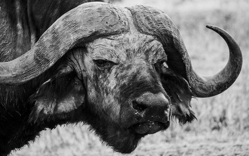 Buffel in Tanzania van Stijn Cleynhens