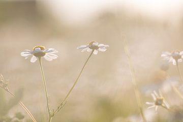 Gänseblümchen mit Hintergrundbeleuchtung von Monique de Koning