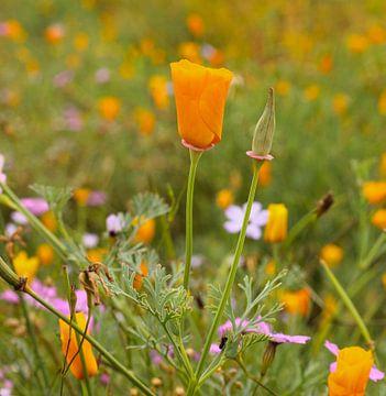 Oranje klaproos in bloemenveld van Berthilde van der Leij