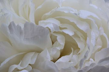 Weiße Rose von Pim van der Horst