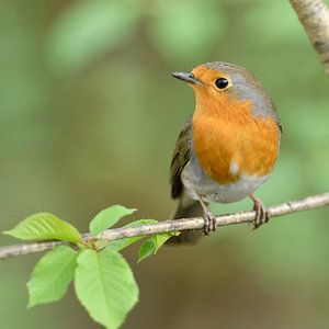 Robin Redbreast ( Erithacus rubecula ) perched on the branch of a tree in spring, cute little garden