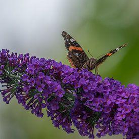 Atalanta Schmetterling auf einem Schmetterlingsstrauch von John van de Gazelle