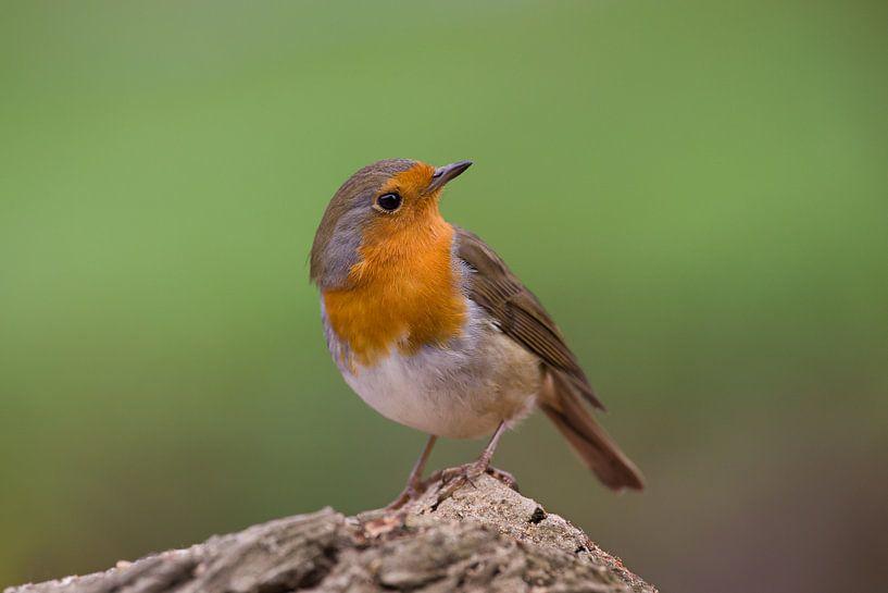 Robin sur Jan Jongejan