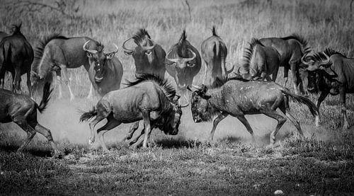 Het gevecht - een wildebeest spektakel
