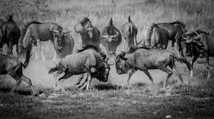 Het gevecht - een wildebeest spektakel van Sharing Wildlife
