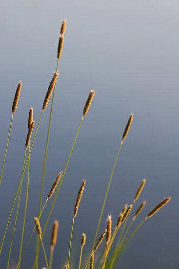 Zomers avondlicht op bloeiend gras