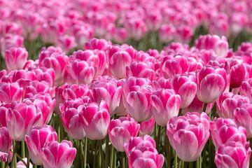 rosa Tulpenpracht von Hilda booy