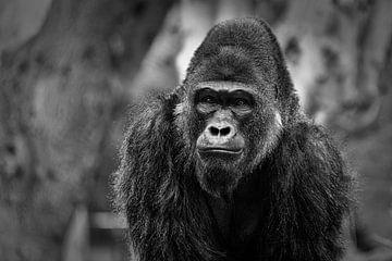 Gorilla portret met wazige achtergrond zwart & wit
