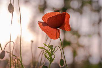 Mohnblume zum Sonnenuntergang von Kurt Krause