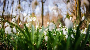 Prachtige sneeuwvlokjes in bloei tijdens het voorjaar van Fotografiecor .nl
