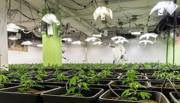 CBD Cannabis voor binnenplanten van Felix Brönnimann