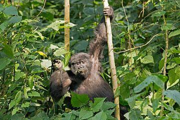 Gorilla-Mahlzeit van Britta Kärcher