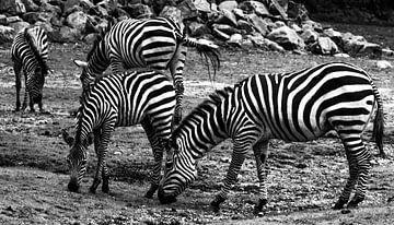 Zebra's von Peter-Paul Timmermans