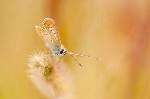 Bruin blauwtje (Aricia agestis) van