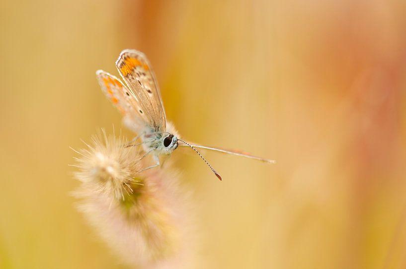 Bruin blauwtje (Aricia agestis) van Douwe Schut