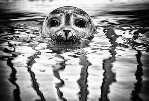 Zeehond in Zeeland van Jacqueline Lemmens