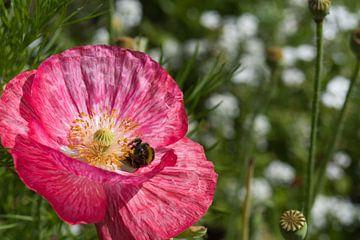 Hommel vol met stuifmeel in een roze klaproos van J..M de Jong-Jansen