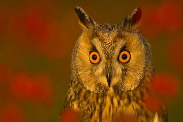 Long-eared Owl (Asio otis) looking alert. sur AGAMI Photo Agency