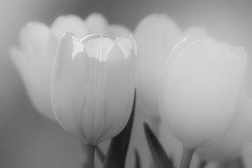 Tulpe von Mario Creanza