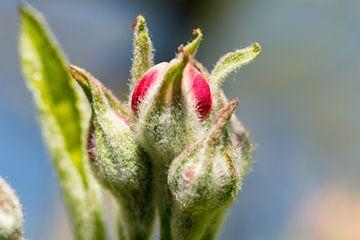 Apfelblüte von Bas Groenendijk