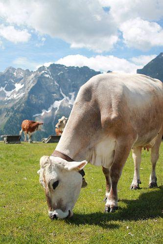 Koe in oostenrijkse bergen