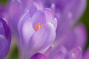 Focus op een krokus in de lente