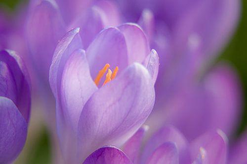 Focus op een krokus in de lente van