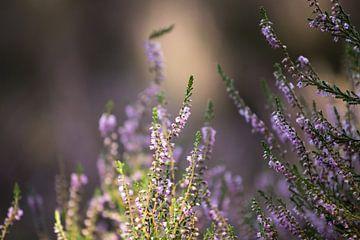 Blühendes Heidekraut in der Veluwe von Karijn | Fine art Natuur en Reis Fotografie