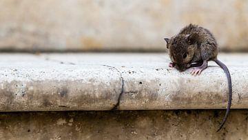 Muis op de trap in Italie  von Matthijs de Rooij
