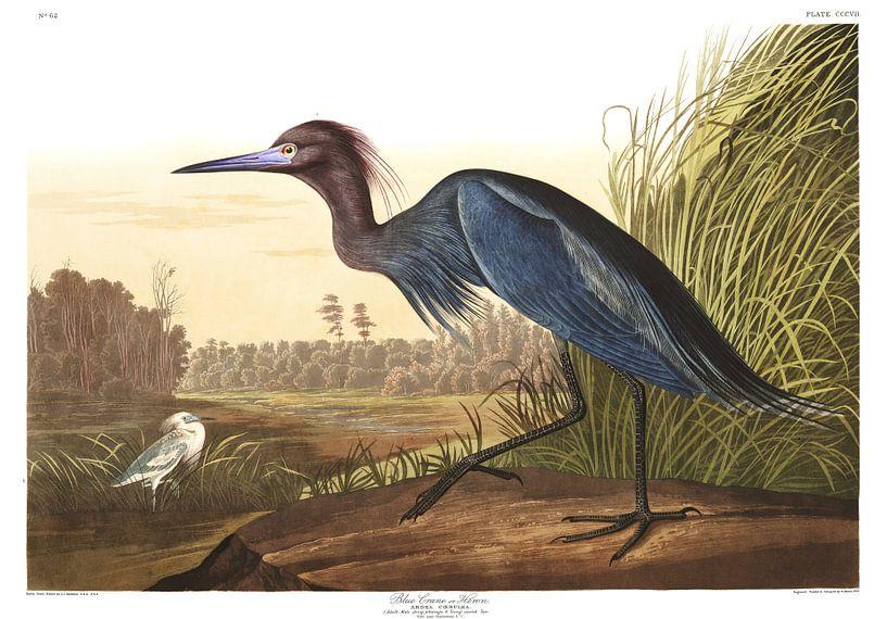 Stanleys Kraanvogel van Birds of America