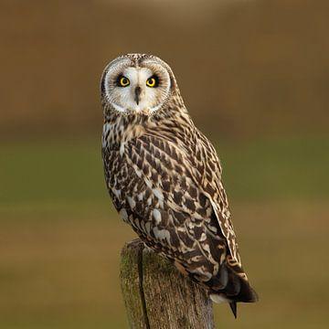 Short-eared Owl sur Aldert Verboom