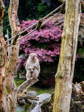 Japanse Makaak van de buurtfotograaf Leontien