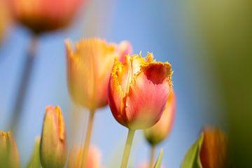 tulpen van Astrid Volten