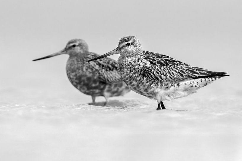 Schwarz-Weiß-Aufnahme von zwei Uferschnepfen (Limosa lapponica) von AGAMI Photo Agency