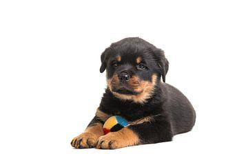 Rottweiler puppy met bal van