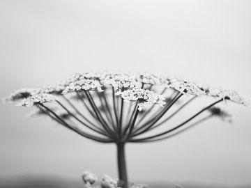 Bärenklau schwarz/weiß von Photos by Francis