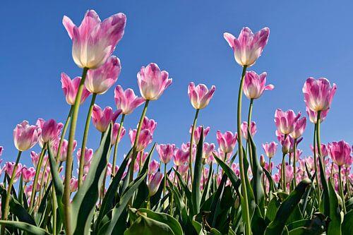Roze tulpen van