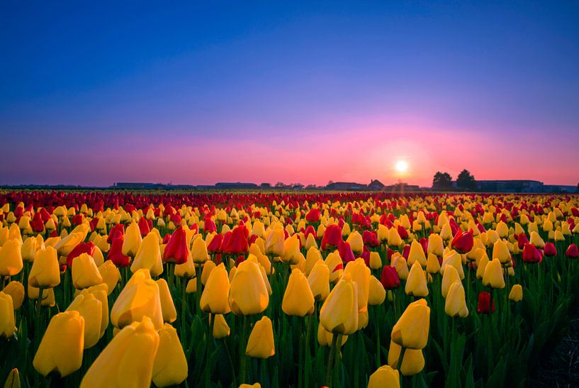 Tulpen van Iman Kromjong